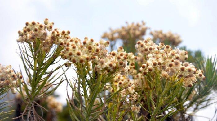 Kenapa Bunga Edelweis di Gunung Tidak Boleh Dipetik?