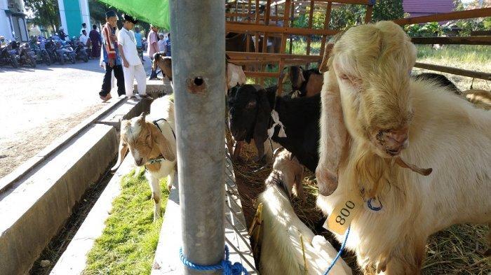 Tips Memilih Hewan Kurban, Agar Sesuai dengan Kriteria Sehat dan Halal