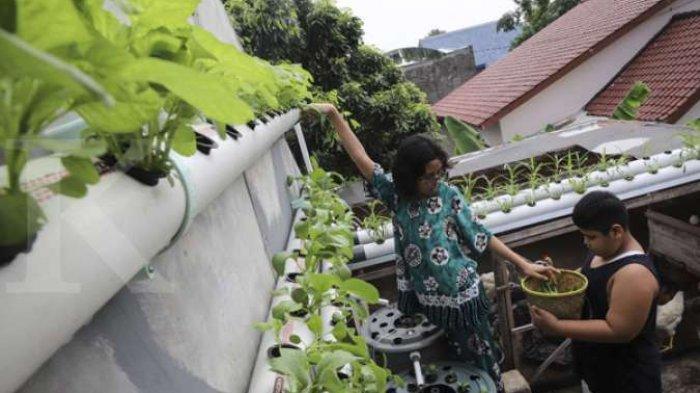 Tanam Sayuran di Pekarangan Rumah, Menghemat Uang Belanja
