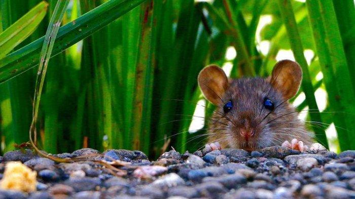 6 Cara Membasmi Tikus di Pekarangan Rumah, Tanpa Racun dan Perangkap
