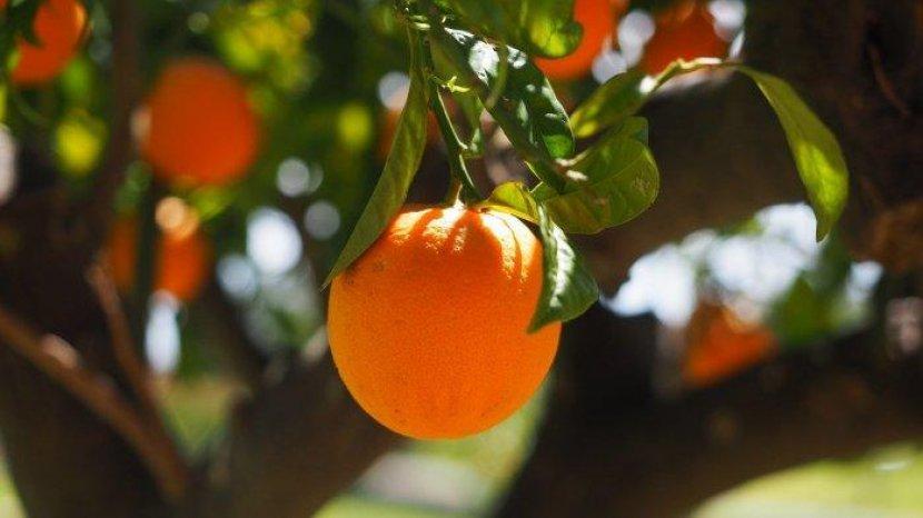 Mengandung Kolagen, Jeruk Punya Banyak Manfaat untuk Kecantikan Kulit dan Atasi Berbagai Penyakit