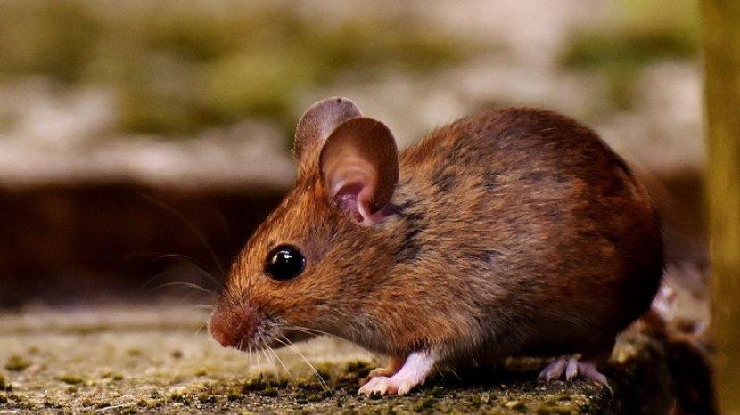 Tikus di Plafon Rumah, Begini Cara Mengatasinya