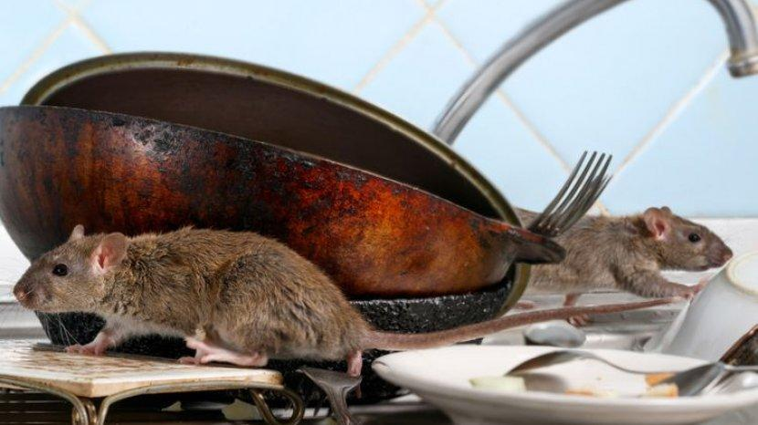 7 Penyebab Tikus Masuk dan Bersarang Dalam Rumah
