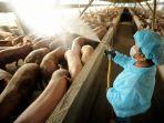 peternakan-babi-2.jpg