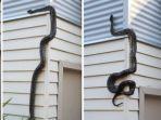 ular-pitin-manjat.jpg