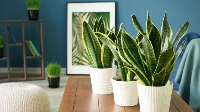 10 Tanaman Penyerap Debu & Menjernihkan Udara dalam Rumah