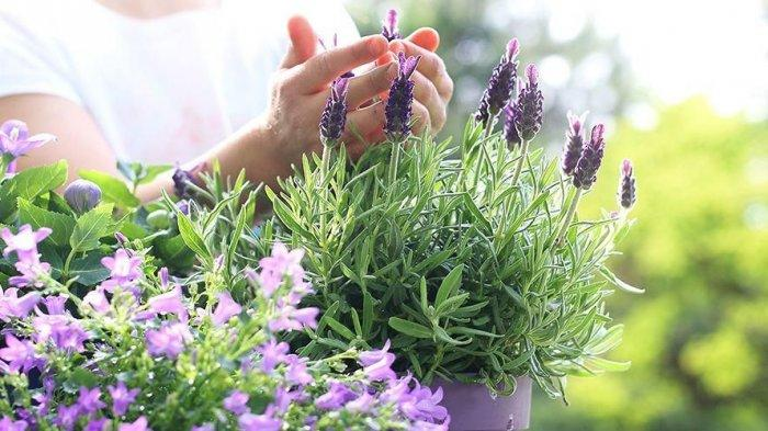 Ketimbang Pakai Obat Nyamuk, Tanam 4 Bunga Cantik Ini di Rumah, Ampuh Usir Nyamuk