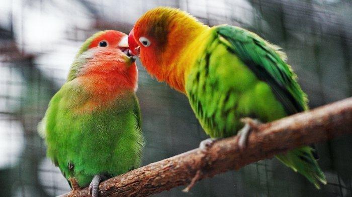 Sulit Membedakan Jantan dan Betina, Kenapa Burung Tidak Punya 'Burung'?