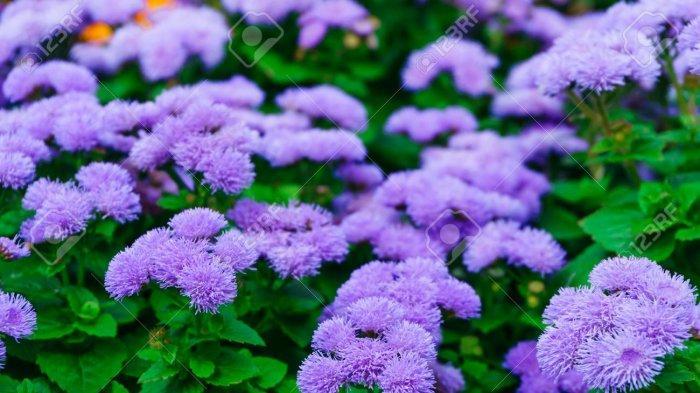 Bunga Floss