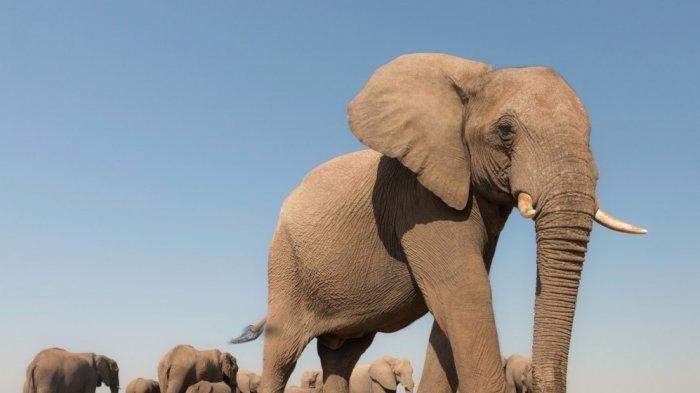 India Melakukan Pemeriksaan 28 Ekor Gajah, Setelah Salah 9 Singa Terinfeksi Covid-19