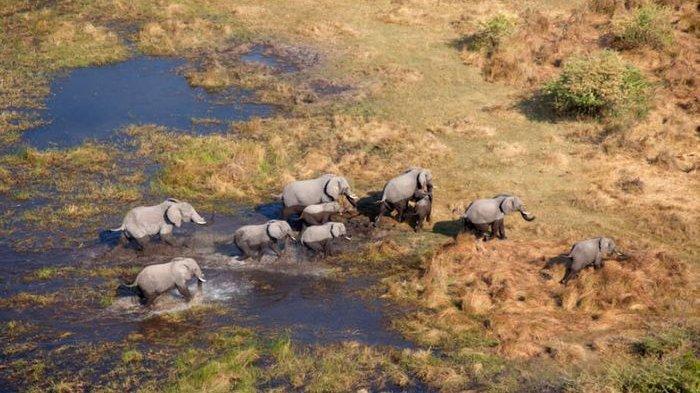 Misteri Kematian Ratusan Gajah di Botswana Berhasil Diungkap, Ini Penyebabnya