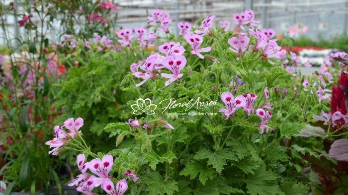 Geranium Novelty Scented Citriodorum