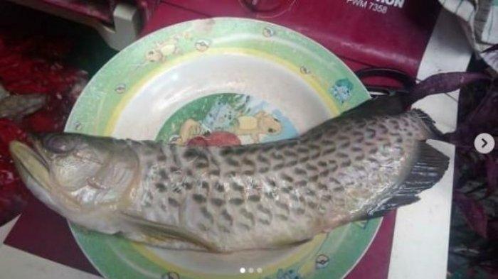 Lebih Mahal dari Oreo Supreme, di Solo Ikan Arwana Seharga Rp 2 Juta Digoreng, Pemiliknya Pasrah
