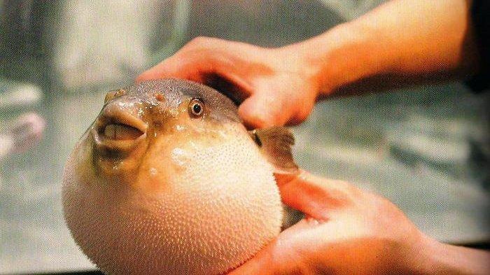 Ikan Buntal, Racunnya Lebih Mematikan dari Sianida