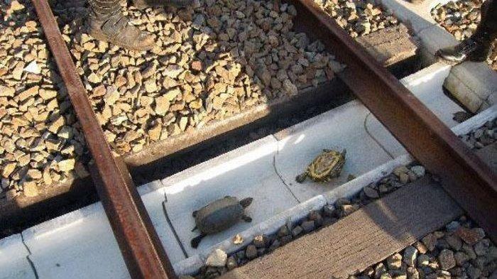 Perusahaan Kereta Cepat Ini, Bagun Terowongan Khusus Kura-kura