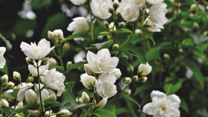 Ini 3 Jenis Bunga yang Jadi Bunga Nasional Indonesia