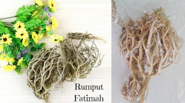 Rumput Fatimah Kerap Dikonsumsi Ibu Hamil, Tapi Berbahaya bagi Ibu dan Janin