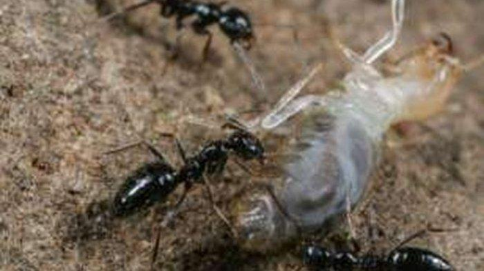 Semut Ini Bisa Menguasai Dunia, Bagaimana Caranya?