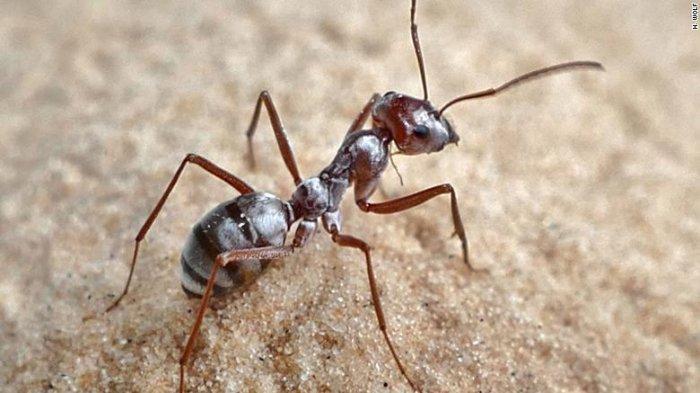 Semut Tercepat di Dunia, Setara 579 Kilometer per Jam!