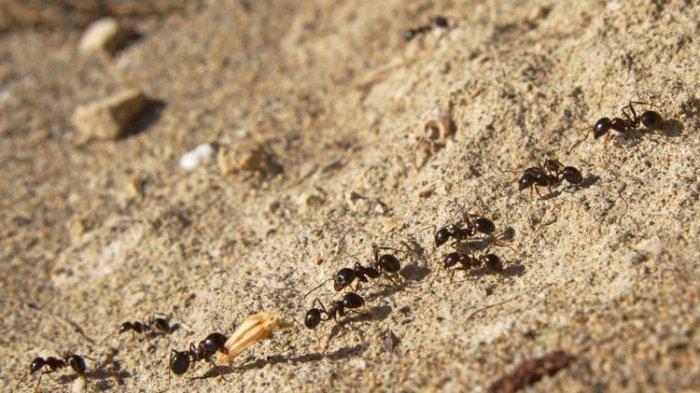 Selalu Konvoi, Kenapa Semut Tidak Pernah Mengalami Macet?