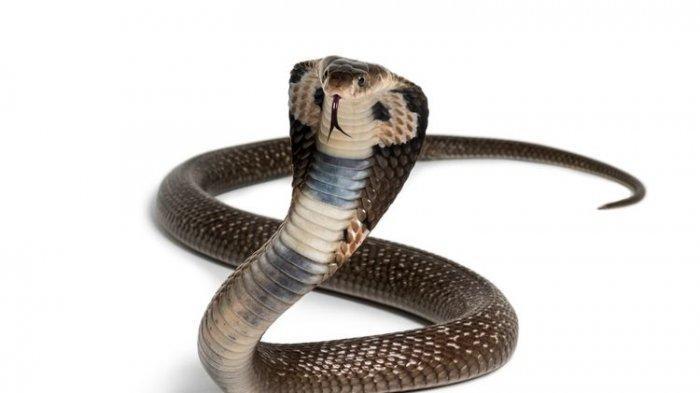 8 Cara Mengatasi Gigitan Ular Kobra yang Mematikan