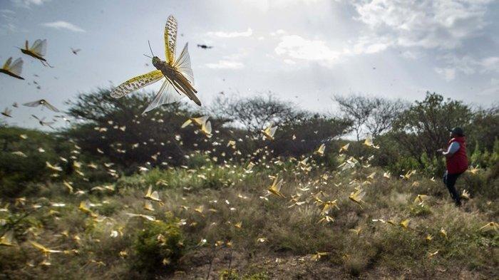 Waspada Wabah Locust, Lebih Menakutkan dari Covid-19, 30 Juta Jiwa Terancam