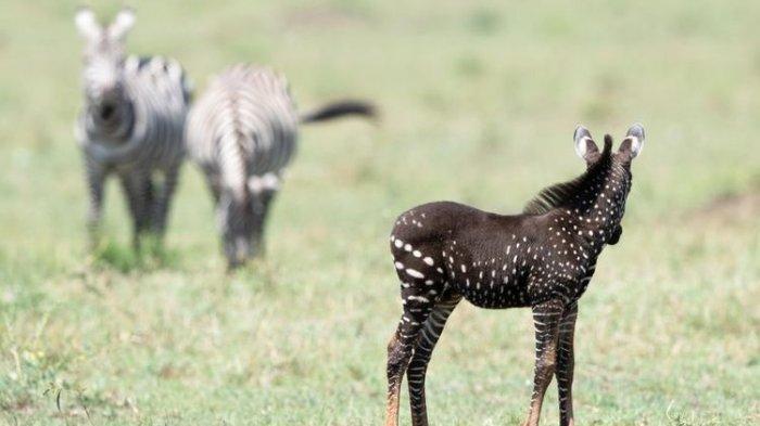 Penampakan Zebra Polkadot Langka di Kenya