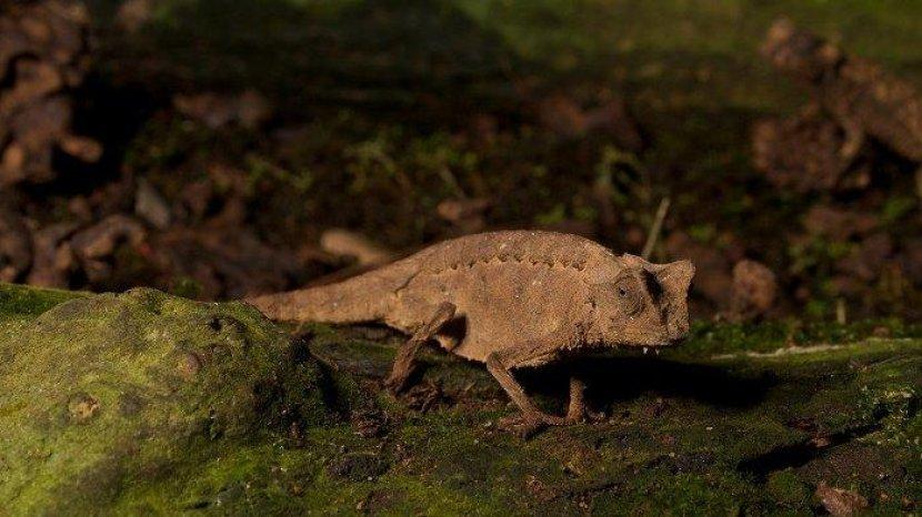 Reptil Terkecil di Dunia, Panjang Tubuhnya Kurang dari 2 Sentimeter
