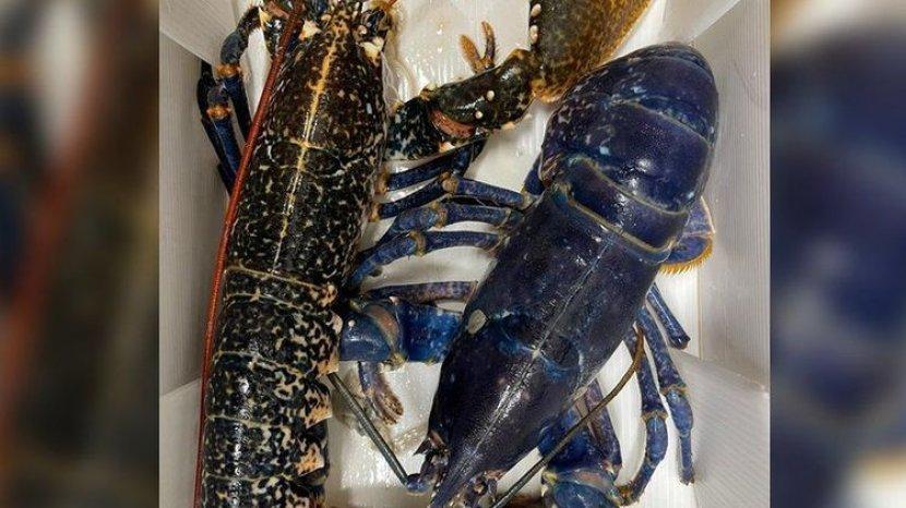 Nelayan Temukan Lobster Biru yang Langka
