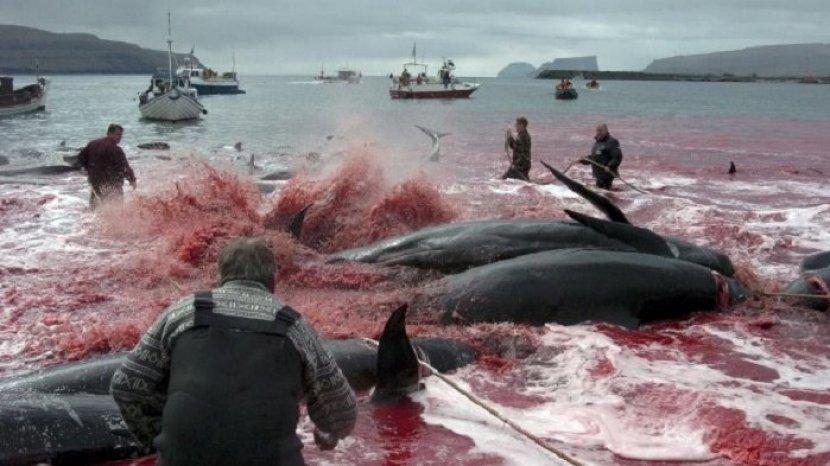 Tradisi Perburuan dan Pembantaian Paus di Kepulauan Faroe