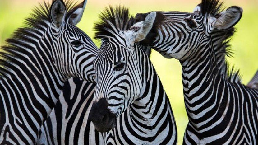 Garis Hitam Putih Pada Tubuh Zebra, Ternyata Punya Fungsi untuk Melindungi Tubuh