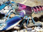benih-lobster.jpg