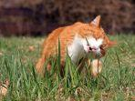 kucing-makan-rumput.jpg