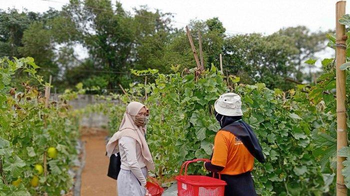 Unila Libatkan Mahasiswa Kelola Kebun Agrowisata Melon