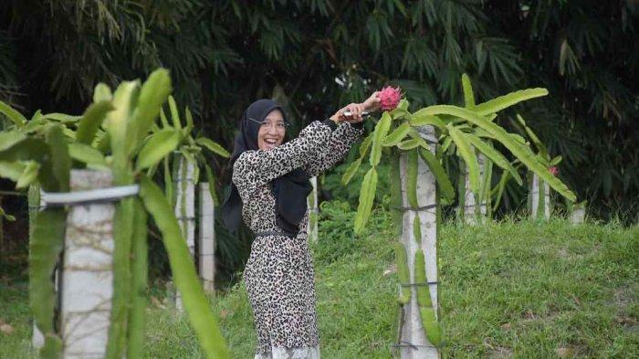 Berwisata Petik Buah Naga di Agrowisata Sabina Lumbung Persada
