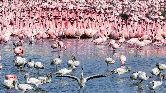 Dampak Lockdown di India, Ratusan Ribu Burung Flamingo Padati Danau di Mumbai