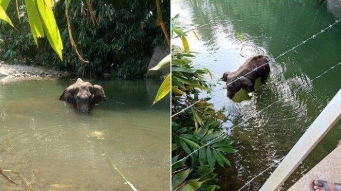Sadis! Seekor Gajah Hamil Mati Berdiri Setelah Makan Nanas Berisi Petasan yang Diberi Warga