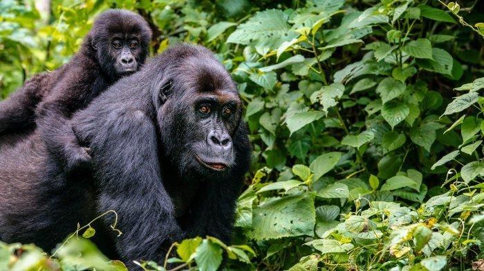 Turis Dianggap Bisa Tularkan Covid-19 ke Gorila, Bagaimana Bisa?