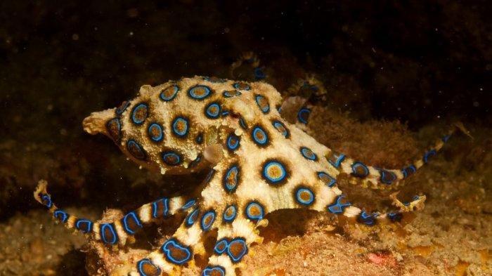 Ini Fakta Menarik Gurita Cincin Biru, Ternyata Merupakan Hewan Laut yang Mematikan