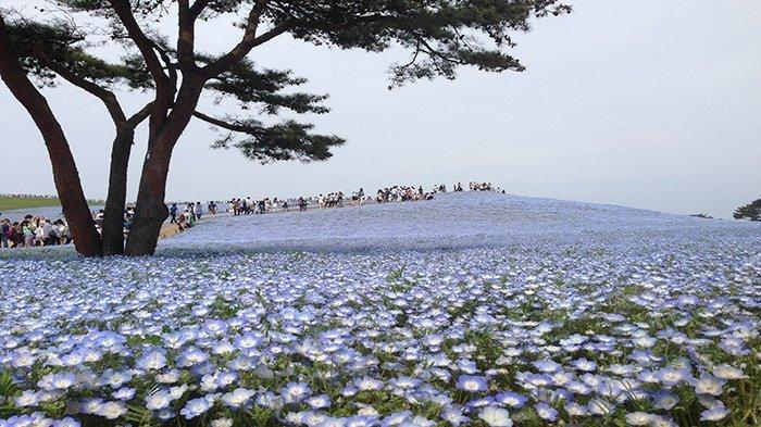 Fakta Unik Hitachi Seaside Park, Taman Bunga di Jepang yang Selalu Berubah Warna Saat Musim Berganti