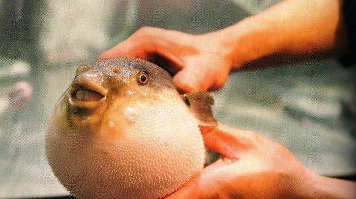 Ikan Buntal, Ikan yang Dianggap Beracun Namun Diincar Orang Jepang