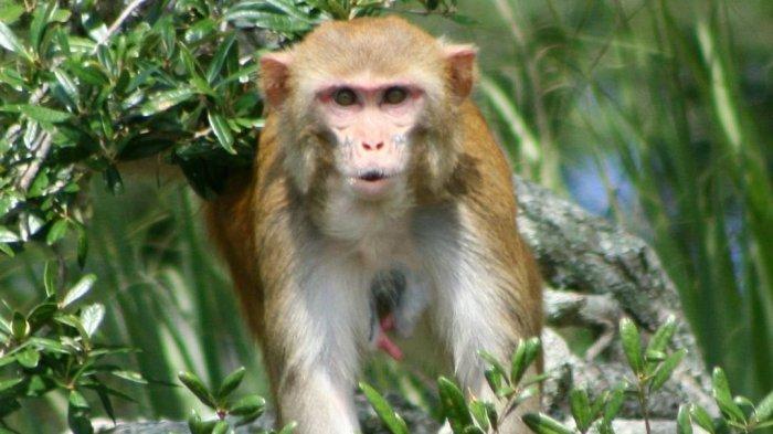 Tak Dihuni Manusia, Pulau Morgan Punya 4 Ribuan Monyet Liar