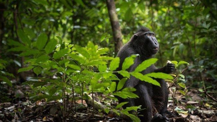 Traveling ke Gunung Tangkoko, Jangan Lupa Bertemu Yaki, Monyet Pemakan Ular
