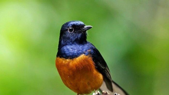 Burung Murai yang Terancam Punah, Miliki Populasi Kurang dari 250