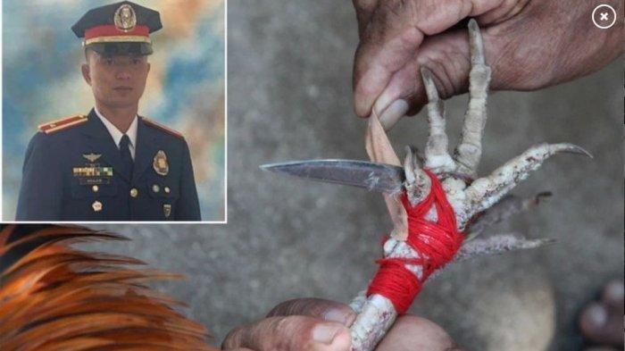 Sial, Seorang Perwira Polisi Tewas Setelah Diserang Ayam Aduan