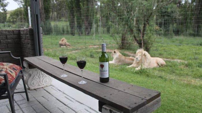 The Lion House, Penginapan di Afrika Selatan yang Tawarkan Sensasi Tidur di Dekat Singa