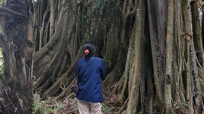 Hariara Nabolon, Pohon Tertua yang Masih Tersisa di Samosir