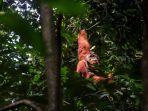 orangutan-sumatera.jpg