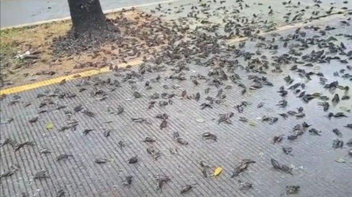 Hasil tangkap layar dari video milik petugas kebersihan Pemkot Cirebon, Selasa (14/9/2021). Ratusan burung pipit mati mendadak di halaman Pemkot Cirebon.