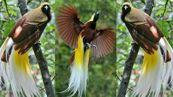 Burung Cenderawasih Tribunnewswiki Com Mobile